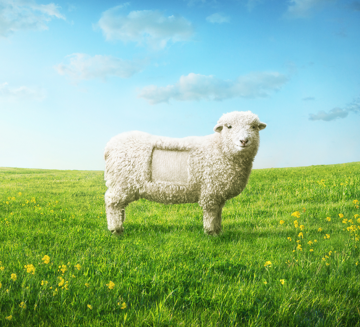 Shaw_Sheep_1080